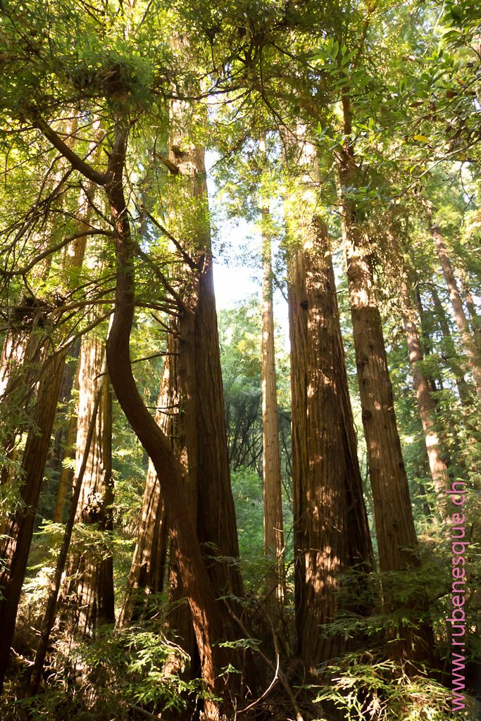 Muir Woods1